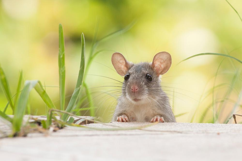 Người tuổi Bính Týcầm tinh con chuột, sinh năm 1996